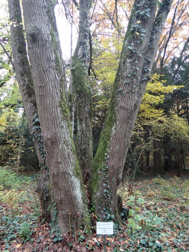 copaci-stejarul-parc-dendrologic-timis-bazos